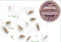 Lice Size Scale